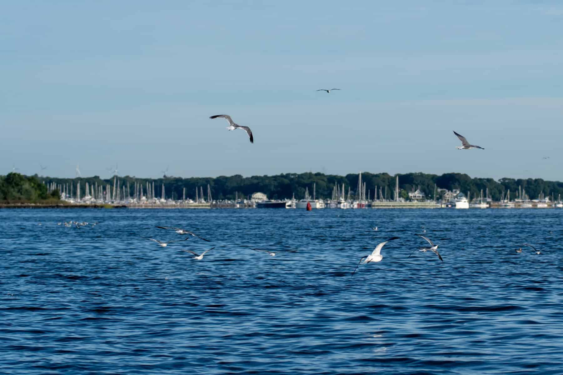 Seagulls Flying over the Water of the Greenwich Bay in East Greenwich Rhode Island